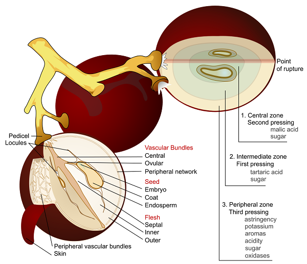 Grape Anatomy